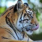 Tiger. Beerwah, Queensland, Australia. by Ralph de Zilva