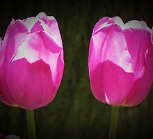A couple Purple tulips by rasim1