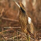 American Bittern by Bill McMullen