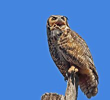 Great Horned Owl by Bill McMullen