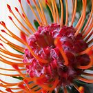 ~ Pincushion Protea ~ by Brenda Boisvert