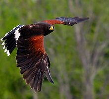 Harris' Hawk in Flight by Nancy Barrett