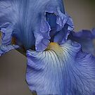 Blue Iris by martinilogic