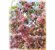 Afternoon Cherry Blossoms Photographic Print