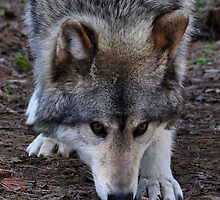Timber Wolf by Nancy Barrett
