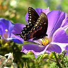 Spicebush Swallowtail Showing It's Colors  by Diana Graves Photography
