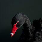 Black swan by navinda