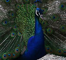 Peacock Proud by R-Summers