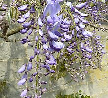 Wisteria heaven by © Pauline Wherrell