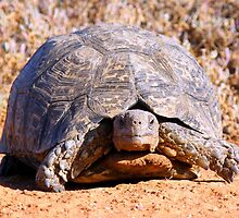Leopard Tortoise by Robbie Labanowski