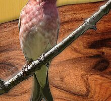 purple finch by arteology