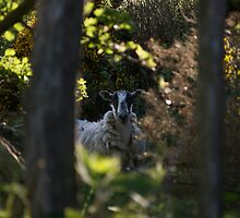 Sheep in A Pen by blueguitarman