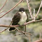 Eastern Kingbird by Starsania