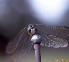 Dragonfly by Tim Bell