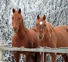 Winter Mares by Alyce Taylor