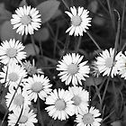 Bunch of Daisies by Stan Owen