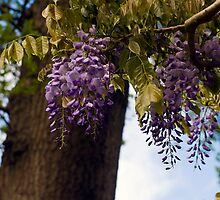 Lovely Wisteria by Monica M. Scanlan