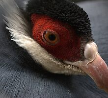 Blue Eared Pheasant II by Susan Vinson