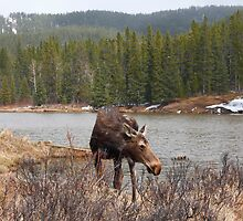 Grazing moose (Alces alces) II by zumi