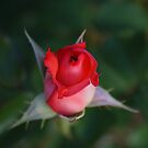 Unfurling  of a Rose! by Ruth Lambert