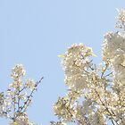 Apple Bloosom Trees - Spring in MN by toni4ball