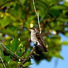 Black-chinned humming bird 1 by flyfish70