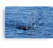 Otter Swimming through Reeds Canvas Print
