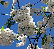 White Blossoms of Spring by BlueMoonRose