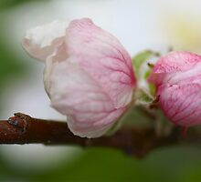 Pink Spring by walstraasart