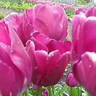 pink tulips from eden by RoseMae