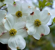 Dogwood Blossoms In The Spring Wind by Gene Walls