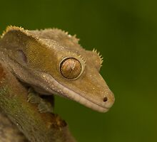 Crested gecko by AngiNelson