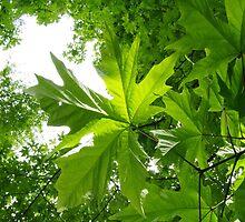 Maple Canopy by tarenjane