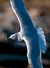 Ring Billed Gull in Flight - Ottawa, Ontario by Michael Cummings