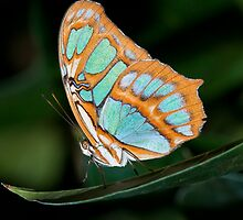 Malachite Butterfly by (Tallow) Dave  Van de Laar