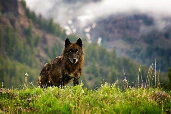 Black Wolf in Yellowstone National Park by cavaroc