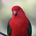 King parrot by Daniel Berends