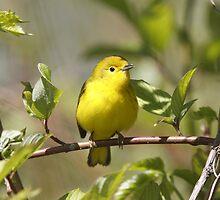 Yellow Warbler 01 by DigitallyStill