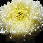 Chrysanthemum close-up by startori