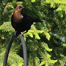 Brown-Headed Cowbird by KatsEye