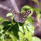 Speckled Wood by larry flewers