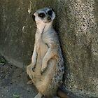 Meercat by Vincent von Frese