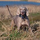 Weimaraner (serious look) by Katariina Jarvinen