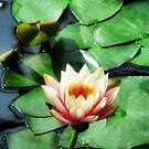 Light of the Lily Pond by shutterbug2010