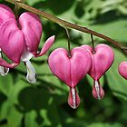 Bleeding Heart by Nancy (Peaches) Harker