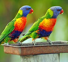 Rainbow Lorikeets In Our Garden. Brisbane, Queensland,  Australia by Ralph de Zilva
