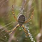 St Andrews Cross Spider by ceecee