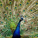Peacock by Alana Ranney