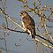 Broad-winged Hawk by Vickie Emms
