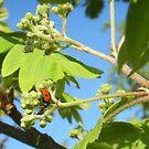 Ladybird's Dinnertime by sarnia2